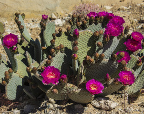 Beavertail Cactus at Valley of Fire State Park in Nevada