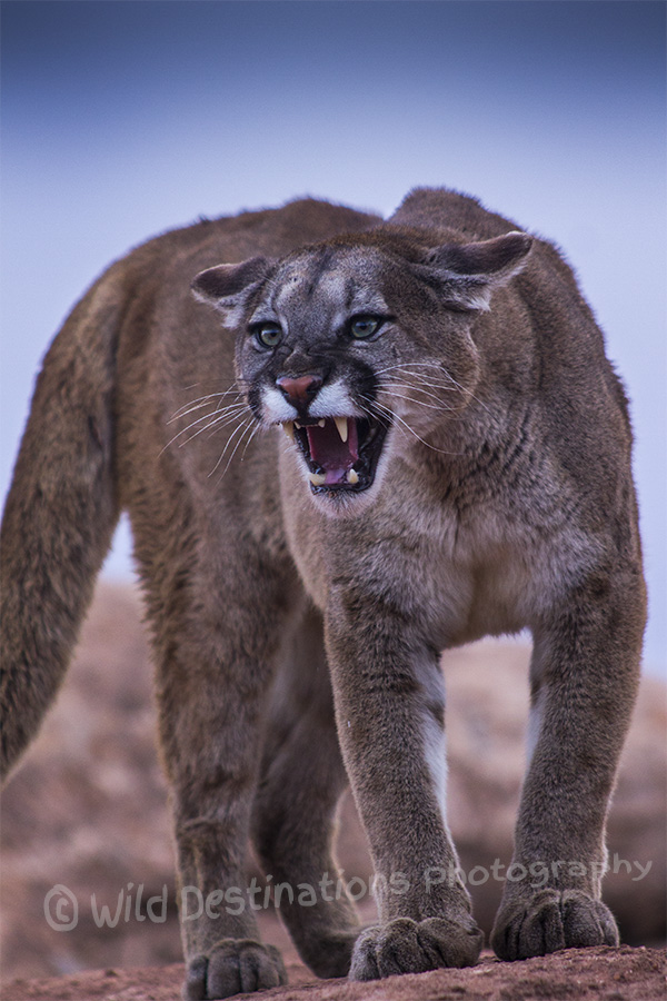 Mountain lion face - photo#50